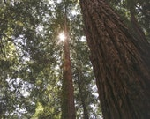 Tree Photo Art | Redwood Tree | Woodlands and Sunlight Art | Forest Photo | Wanderlust Redwoods | Big Basin Redwoods | California State Park