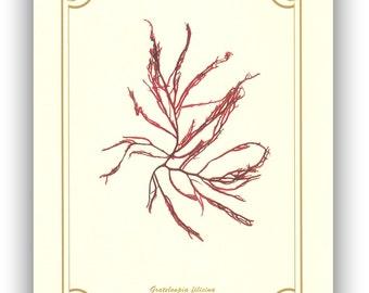 Pressed seaweed Art, Original seaweed pressing, Seaweed Collage, Sea weed Art, red algae, Botanical art, beach cottage decoration