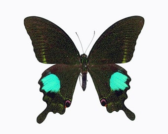 Real Papilio paris Butterfly, spread for your project or laminated or unmounted
