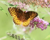 Fritillary on butterfly bush stock photo image free use