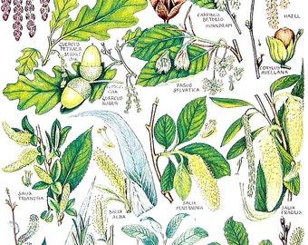 Hornbeam, Evergren Oak, White Willow, Beech-  1965 British Flowers Vintage Book Plate P71