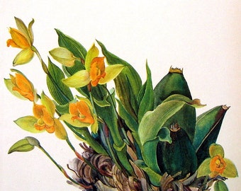 Lycaste Plant 1968 Vintage Plants and Flowers Book Page