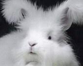 Adopt a white german Angora bunny