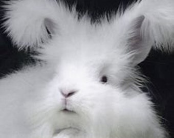 Adopt a white german Angora bunny  (this is Not for the live Animal )