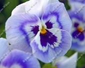 Pretty Purple Peekaboo Pansies Pansy Floral Fine Art Photography Photo Print