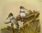 Vintage Bird Print, Large color lithograph from Studer's Popular Ornithology, Rail, Kingfisher