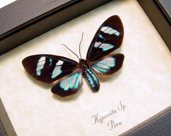 Real Framed Electric Blue Day Flying Moth Insect Display Hypocrita 8177