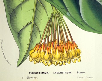 1850 Vintage Botanical Print of the Plocostemma Lasianthum. By Louis Van Houtte - Chromolithograph