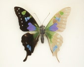 Skeleton Butterfly Cabinet of Curiosity Taxidermy Graphium weiskei