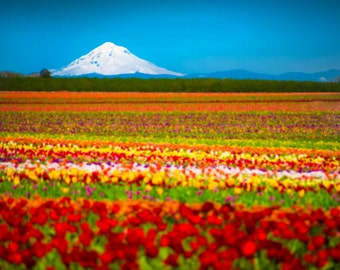 Spring Flower Photo, Tulip Photography Mountain Photograph Tulip Farm Oregon Hood Red Willamette Wall Art nat2
