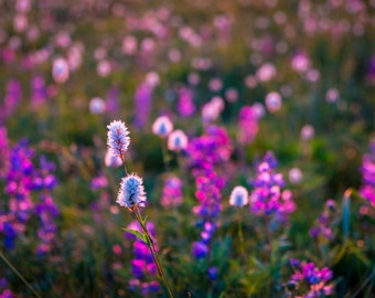 Wildflower Photography Landscape Photograph Sunset Photo Flower Print Sunrise Violet Purple Lilac nat121