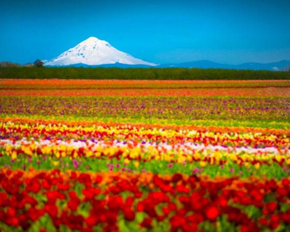 Spring Flower Photo, Tulip Photography Mountain Photograph Tulip Farm Oregon Hood Red Willamette Wall Art nat2