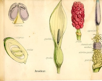 Wild Arum, Cuckoo Pint, Antique Botanical Print, 1874, Plate 89, Natural History, Vegetable Kingdom, Hand Colored, Black White