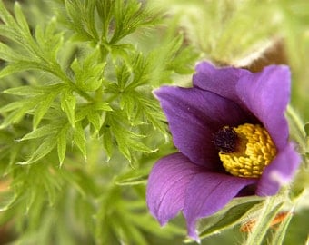 Fine Art Photo of Pasque Flower, Tippecanoe County, Indiana