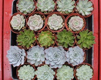 "SAMPLE 1 Gorgeous 4""  Wedding Favor Succulents in plastic 4"" containers succulent favors to preview+"