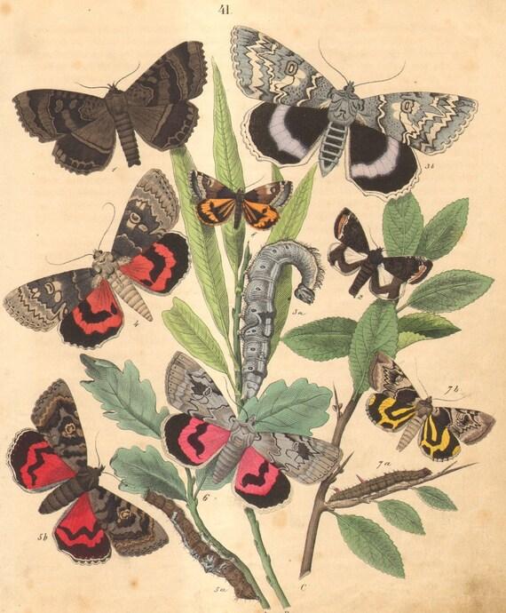 1863 Antique Engraving of Moths, Old Lady, Blue Underwing, Dark Crimson Underwing, Rosy Underwing, Sweetfern Underwing, Orange Underwing