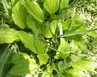 6 Plantago Major Plants,  Medicinal Plant, food for Bunny