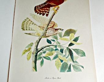 Audubon Bird Print For Framing Merlin Pigeon Hawk Print 1940's Birds of America