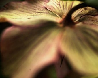 Hellebores from the back abstract pink and green flower photography nature photography