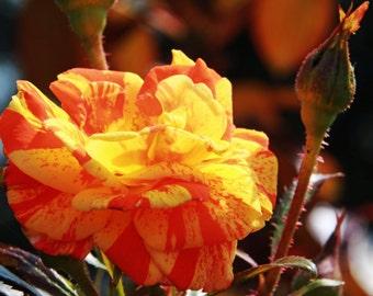 Beautiful Orange/Yellow Rose Photo