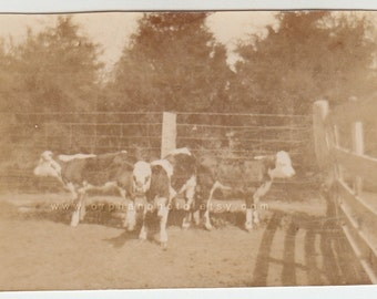 Vintage/Antique beautiful photo of thee cows