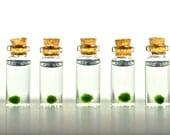 5 Super Miniature Marimo Ball Vials, Miniature Plants, Tiny Terrariums, Moss Ball Mini Terrariums, Miniature Gardens, Live Plant Charms