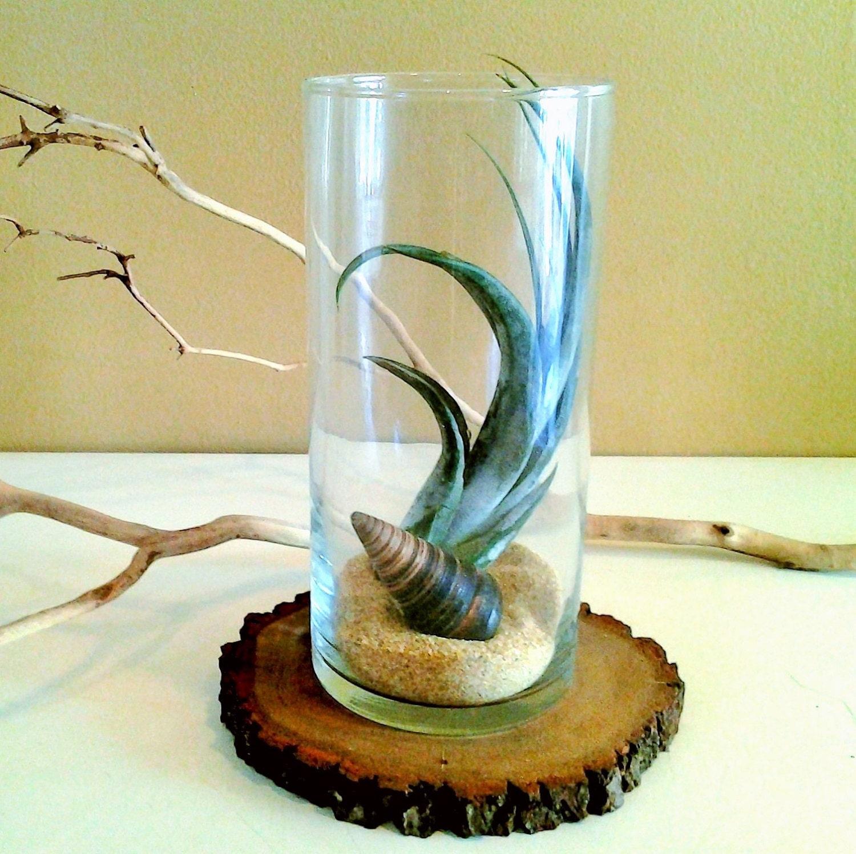 Air plant terrarium glass vase air plant sea shell for Air vase