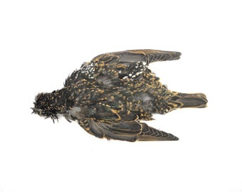 "8"" Starling wings, tail and skin Taxidermy bird avian pair feathers feather PELT01"