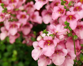 Heirloom 1000 Seeds Twinspur Diascia Pink Queen Asca Garden Flower Annual Bulk Seeds B0016