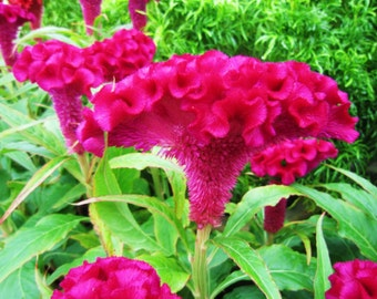 Heirloom 900 Seeds Celosia argentea Plumosa Group Cockscomb Woolflower Flower Bulk Seeds B1050