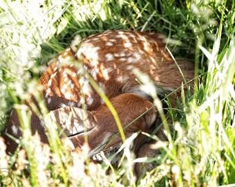 Deer Photography, Fawn, Spotted Fawn Print, Whitetail Deer Nature Art Print, Baby, Sleeping Fawn, Little Baby Deer, Nursery Art