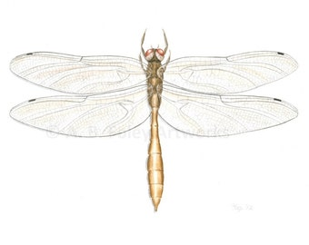 """Original Dragonfly Art: Coppery Emerald Dragonfly Illustration, Insect Nature Art, Dragonfly Painting, Brown and Gold Art, Gouache 8"""" x 10"""""""