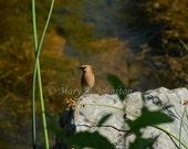 """Cedar Waxwing 8""""x10"""" photo"""