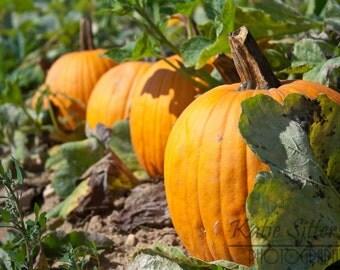 Pumpkins Photo Art, Pumpkin Field photo,  Fall photo, Framed Photography Option