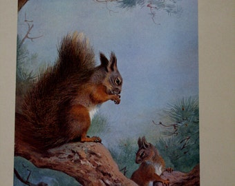 Red Squirrel Print Limited Edition
