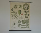 Authentic German Pull Down School Chart. Freshwater Algae.  Mid Century Poster.  Germany. Pull down chart map School