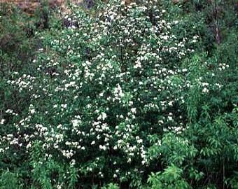 50 Black Hawthorn Tree Seeds, Crataegus douglasii