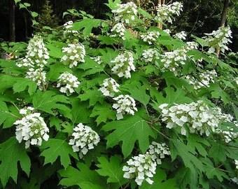 50 Oakleaf Hydrangea Seeds, Hydrangea quercifolia