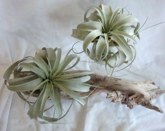 Air Plant Xerographica with FREE plant!