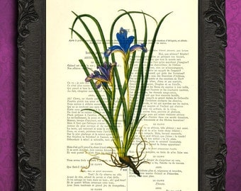 black bearded iris print antique blue purple flower illustration printed on dictionary paper