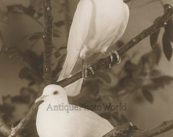 White doves pigeons birds on tree branches vintage art photo