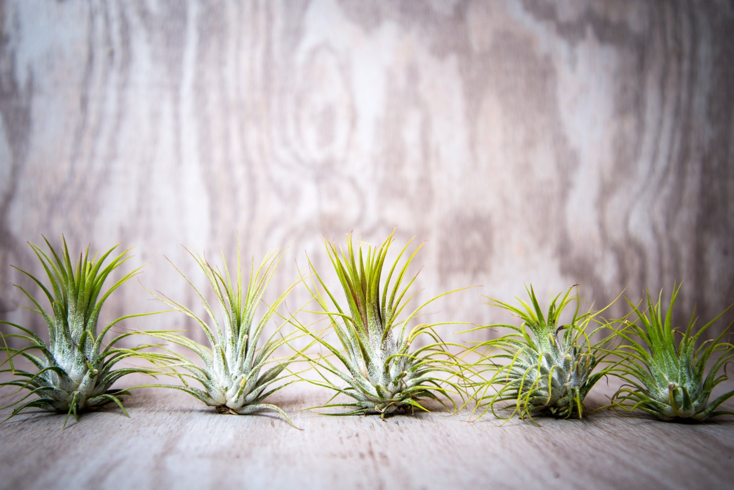 Air plant 25 bulk wholesale tillandsia by hinterlandtrading for Cheap air plants
