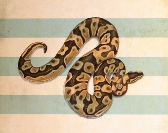 "Ball Python. Chalk Pastel and Ink on card. 12""x12"" (30.5cmx30.5cm)"