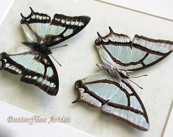 Premium Set Of Sage Green Polyura Narcaea Real Butterflies In Shadowbox