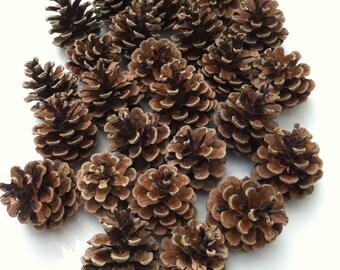 50 Norway red pine cones