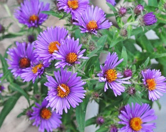 Aster Seeds - New England (Aster novae-angliae) PERENNIAL ,Seeds, Perennial, Hand harvest from my Garden