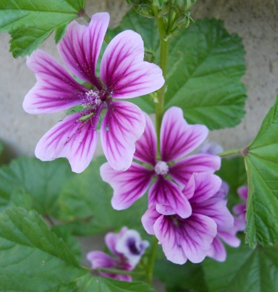 Graines de rose tr mi re zebrina malva sylvestris - Graine rose tremiere ...