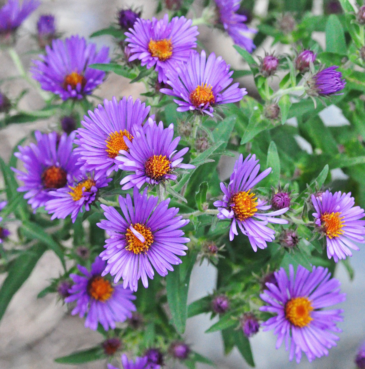 Power of the Flower: My favorite flower: New England Aster
