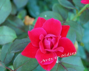 Beautiful red rose. Ideal for enlargements canvas prints, or wall art. High resolution (3078x2952 pixels)
