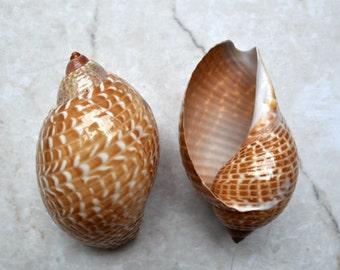 "Pacific Partridge Tun Seashell (3-4"") - Tonna Perdix"